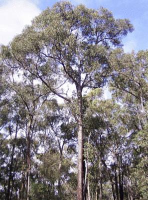 Australian black butt in a forest