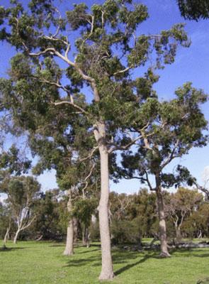West Australian Marri