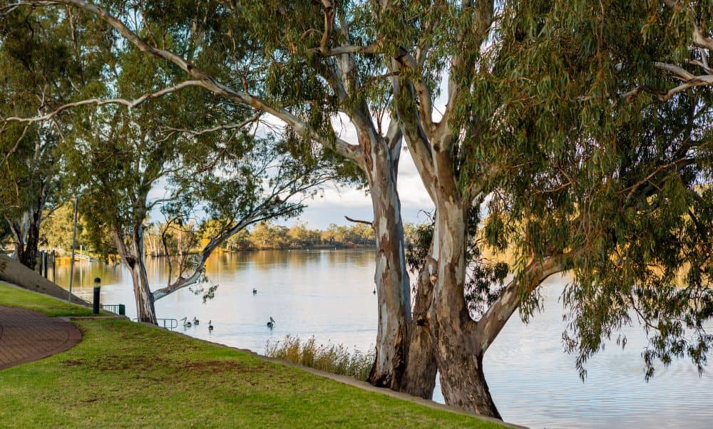 Red Gum trees along the riverbank of the Murray river.